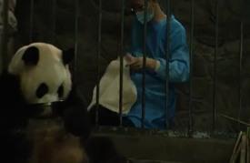 أنثى باندا عملاقة تضع توأمين صغيرين في مدينة تشنغو الصينية